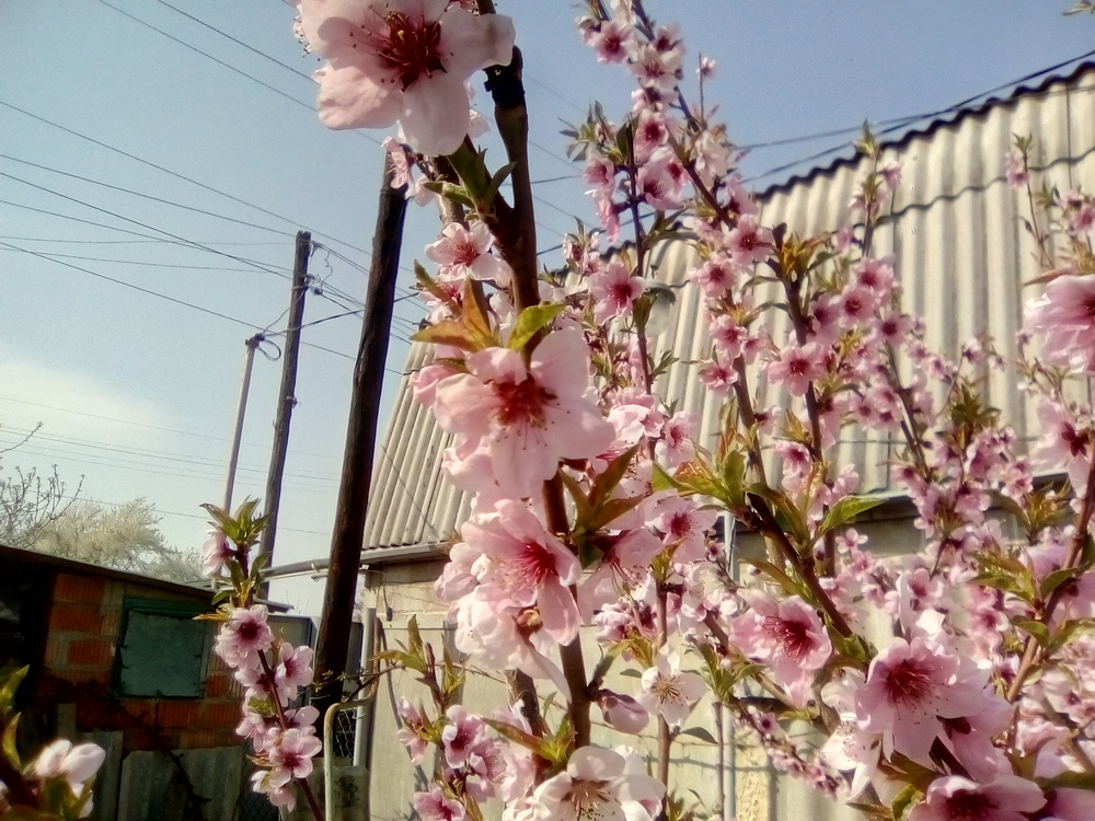 Цветущий персик у нас во дворе